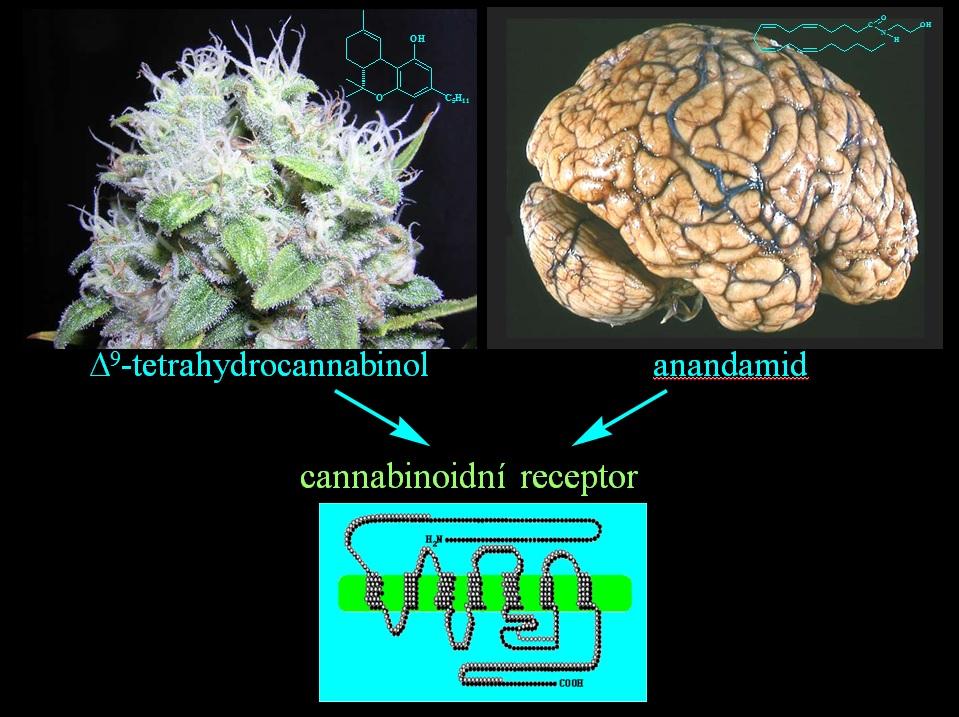 marihuana-a-mozog
