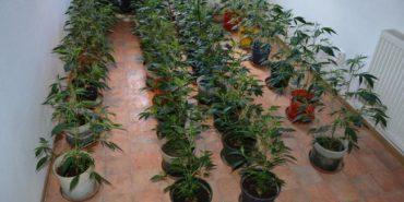 rastliny-marihuany-banska-bystrica