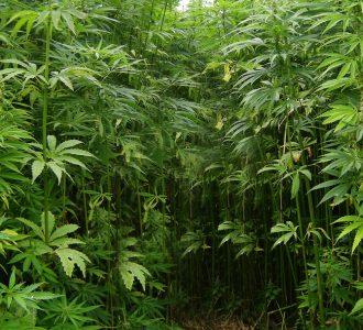 marihuanova-dzungla