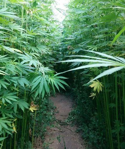 marihuanova-farma-morava-2